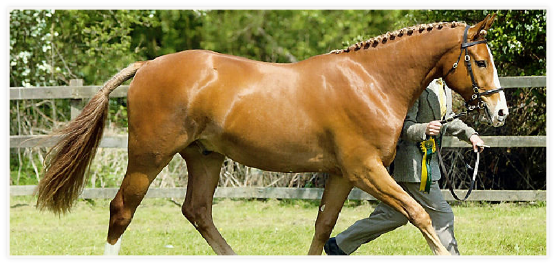 Sports Horse Breeding in the North West - Stallions